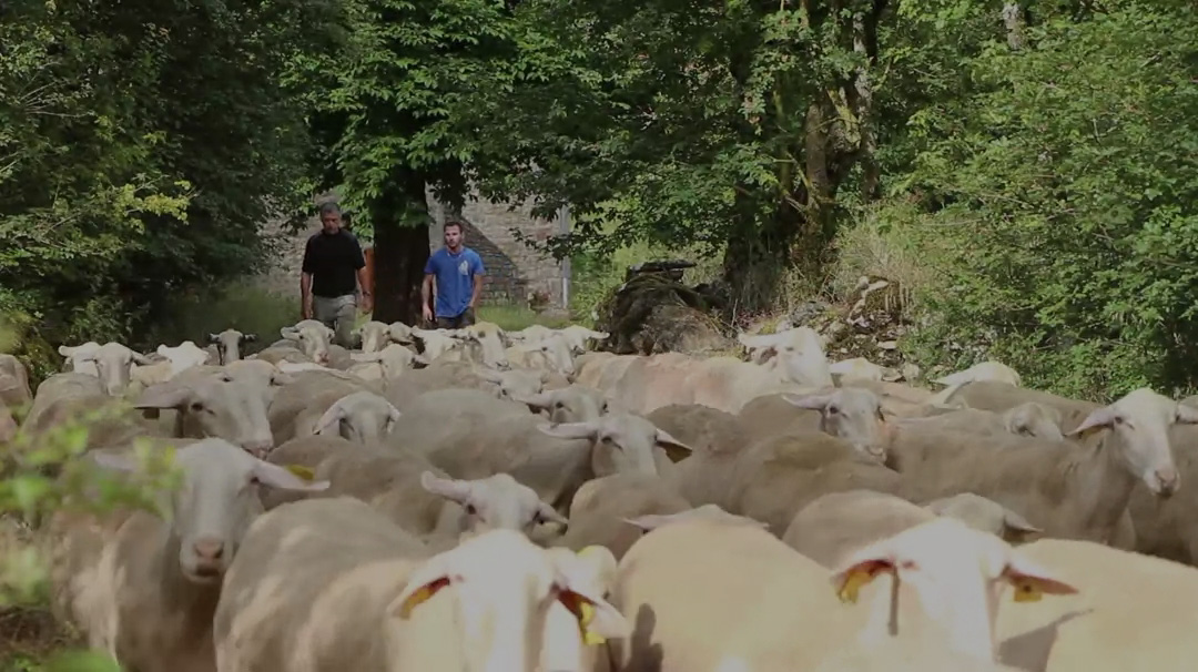 aveyron-brebis-bio-video-accroche